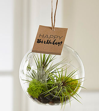 Birthday Chic Hanging Air Plant