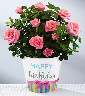 Birthday Blooms Mini Rose