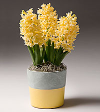 Let the Sunshine In Spring Hyacinth Plant