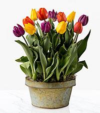 Tulip Time Spring Bulb Garden
