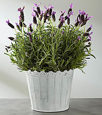Soothe the Senses Lavender Plant