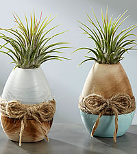 Sweet Eggscape Air Plant Duo