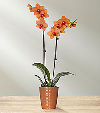Honeyed Apricot Shine Orchid