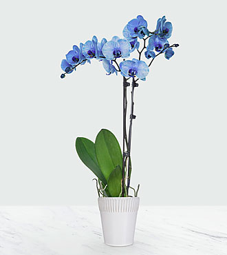 Stunning Sapphire Gem Orchid