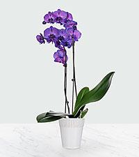 Radiant Purple Prism Orchid