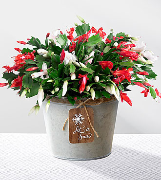 Let It Snow Christmas Cactus