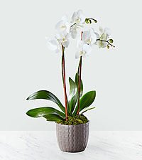 Serenity Phalaenopsis Orchid