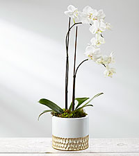 Silent Snowfall Holiday Orchid