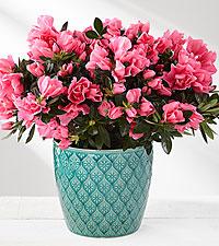 Must Love Pink Azalea