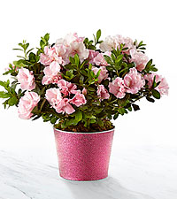 Pink Inspirations Azalea Plant