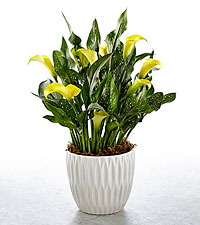 Sun Spot Calla Lily Plant