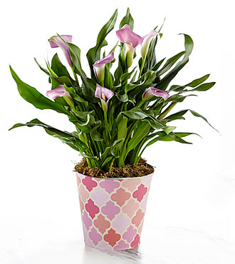 Just for Mom Mother's Day Calla Lily Plant