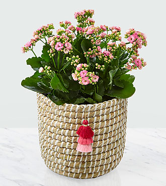 Mom = Love Mother's Day Kalanchoe