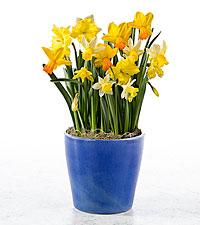 Spring Sunshine Daffodil Bulb Garden