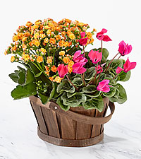 Flowering Funshine Spring Plant Duo