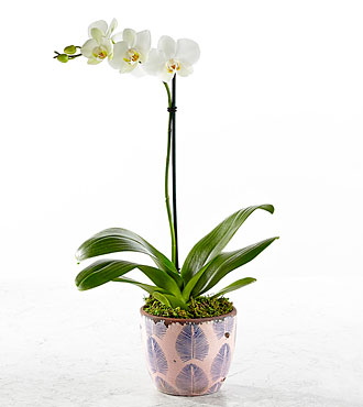Think Pink Orchid