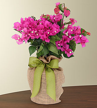 On the Bright Side Bougainvillea Plant  - GOOD