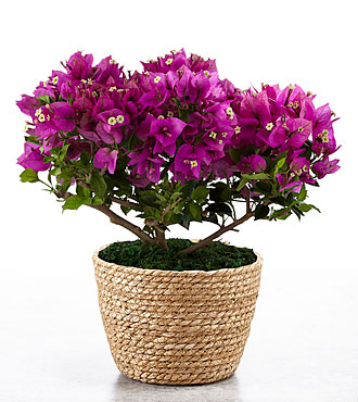 On the Bright Side Bougainvillea Plant  - BETTER