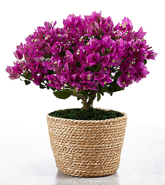 On the Bright Side Bougainvillea Plant  - BEST