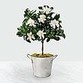 Pure & Simple Gardenia Topiary