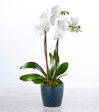 Peacefully Blessed Orchid- Blue & White