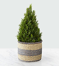 Fall Fresh Rosemary Tree