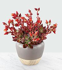 Crimson Burst Succulent Garden