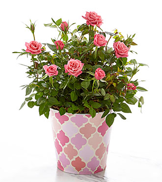 Just for Mom Mother's Day Mini Rose Plant