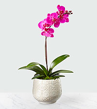 Pure Imagination Orchid