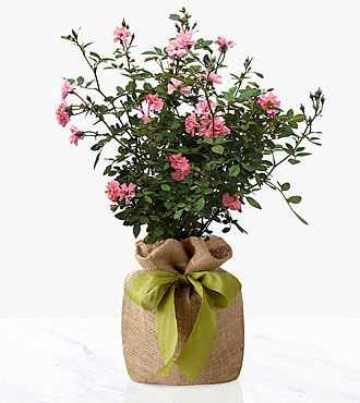 Blooms Abound Rose Bush