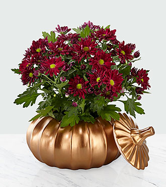 Harvest Joy Mum Plant