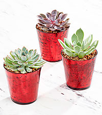 Holiday Essence Succulent Trio
