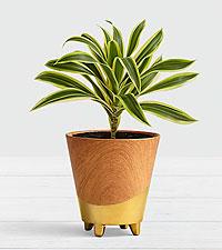 Dracaena - Shelfie Plant