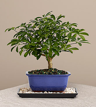 Indoor Hawaiian Umbrella Bonsai