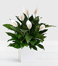 Deluxe Sympathy Peace Lily in White Tin