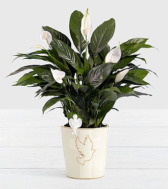 Sympathy Peace Lily with Angel