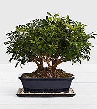 Premium Hawaiian Bonsai Tree
