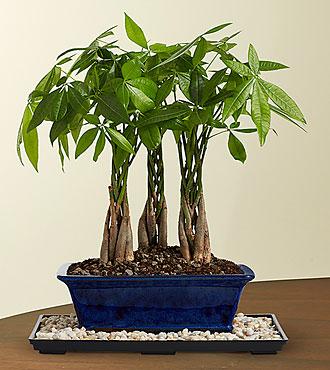 Braided Money Tree Grove Bonsai