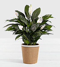 Lush Tropical Peace Lily in Burlap Container