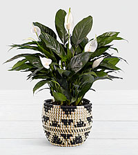 Lush Tropical Peace Lily in Triangle Print Basket