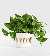Golden Pothos–Tabletop Plant in Mid Century Ceramic