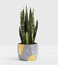 Snake Plant–Tabletop Plant in Gold & Grey Geo Planter