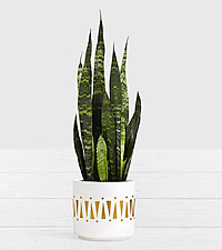 Snake Plant Tabletop Plant in Ceramic Planter