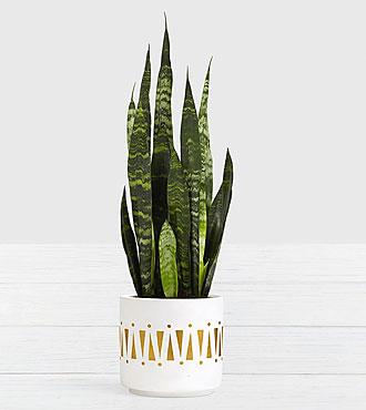 Snake Plant Tabletop Plant in Ceramic Planter