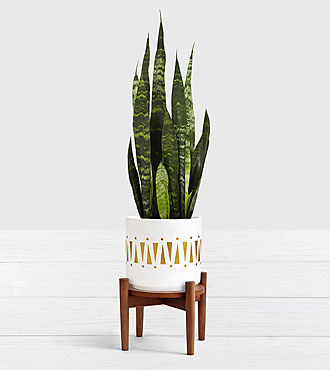 Snake Plant–Tabletop Plant with Stand