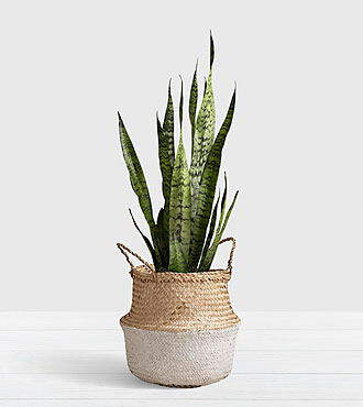 Snake Plant - Floor Plant in White Dipped Belly Basket