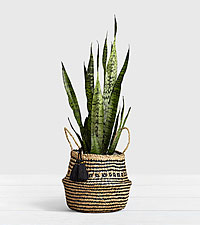 Snake Plant Floor Plant in Diamond Print Belly Basket
