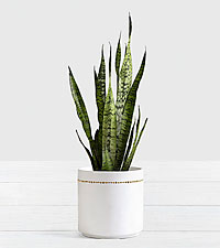 Snake Plant Floor Plant in Mid Century Planter