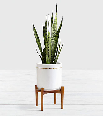 Snake Plant Floor Plant with Stand