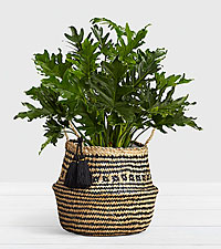 Lacy Leaf Philodendron in Diamond Print Belly Basket